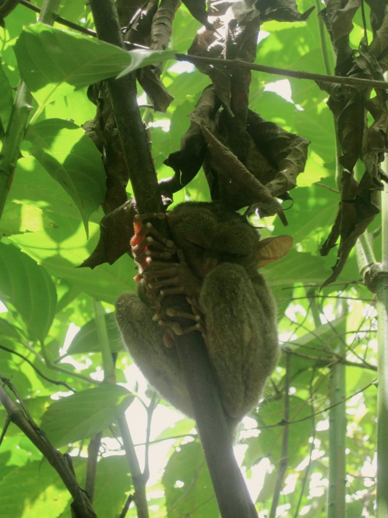 Tarsier in Bohol, Philippines - Top 10 must-see places in the Philippines